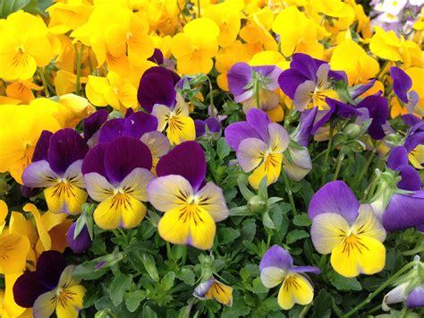 ricordi fiorivano le viole fiorivano le viole oltreilbalcone
