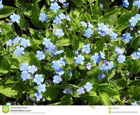 fiore nontiscordardime fiore nontiscordardime immagine stock immagine di
