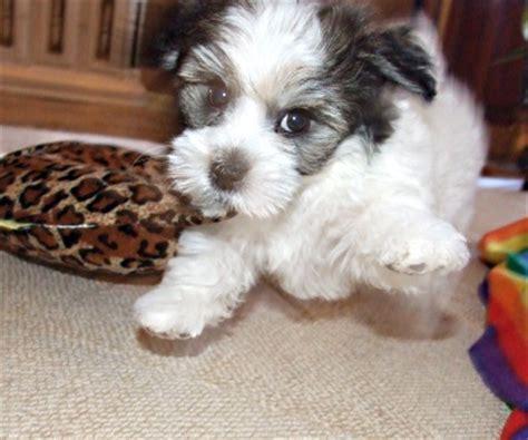 havachon puppies havachon havanese bichon frise mix info temperament pictures