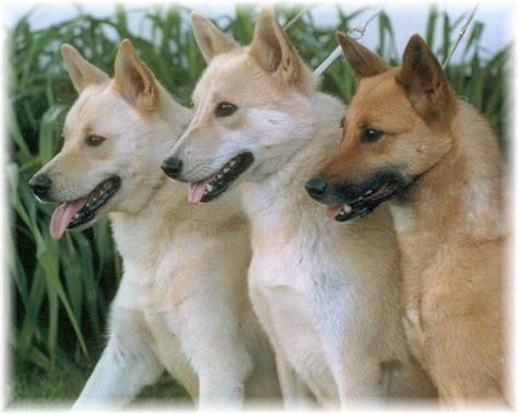 canaan puppies canaan dogs canaan