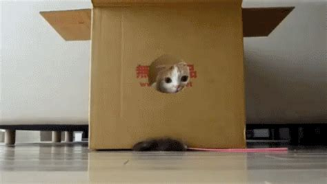 gif cat animals   box animated gif  gifer