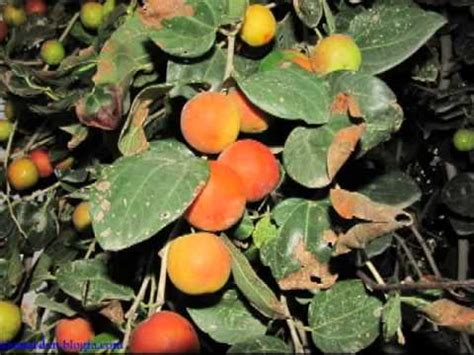 Bibit Pohon Bidara Sidr Arab bibit pohon bidara