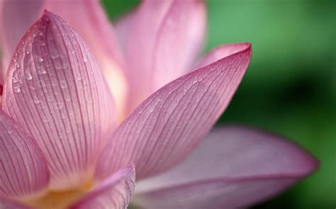 lotus symbolism
