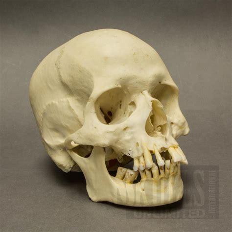 Real Human Skulls For Sale The Skull Appreciaton Society Skull On