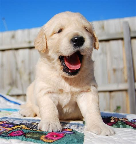 golden retriever puppies buy 1326 best pet photography prop ideas puppy images on beautiful
