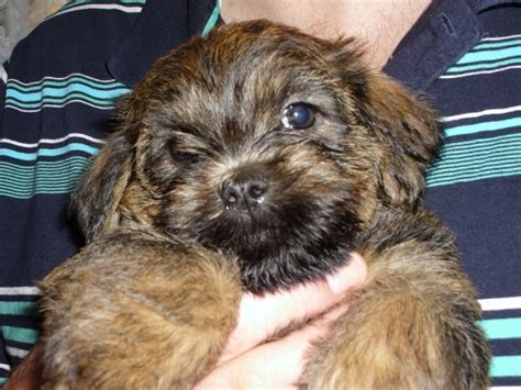 shih tzu puppy care 35 shih tzu cross breeds you to see to believe