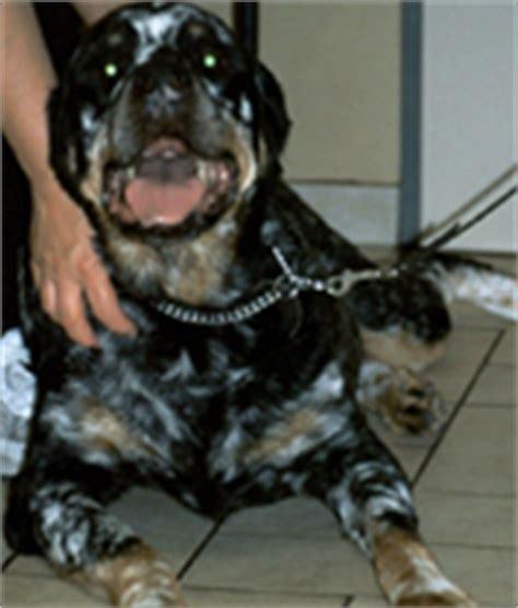 rottweiler with vitiligo of rottweiler with vitiligo vitiligo cover