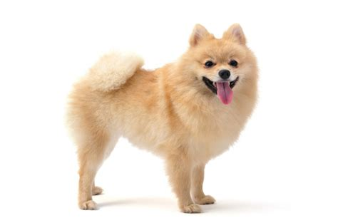 why do pomeranians so much non shedding dogs large breeds picture