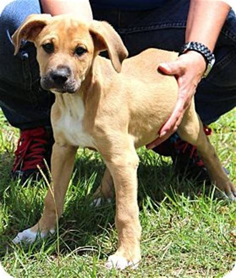 great dane lab mix puppies bama adopted puppy silsbee tx great dane labrador retriever mix