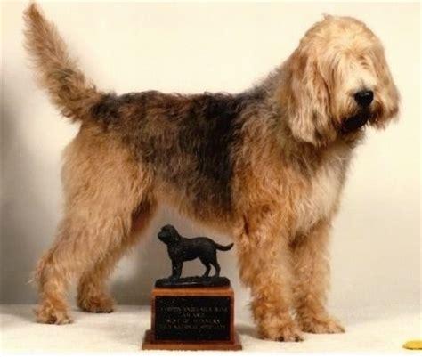 otterhound puppies otterhound breed information and pictures