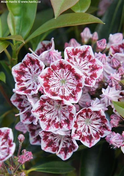 kalmia latifolia kalmia latifolia carousel havlis cz