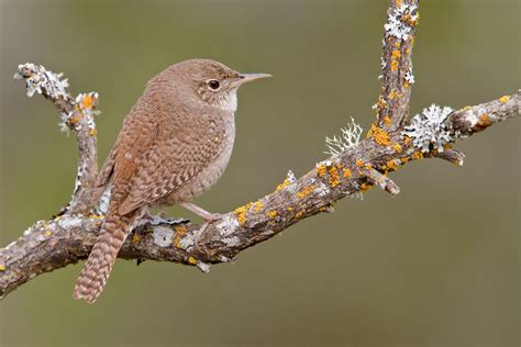house wren audubon field guide