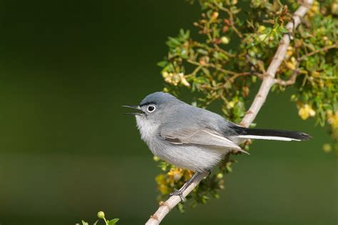 Small Grey Blue Gray Gnatcatcher Audubon Field Guide