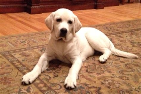 ivory lab puppies for sale in mn white lab puppies in minnesota