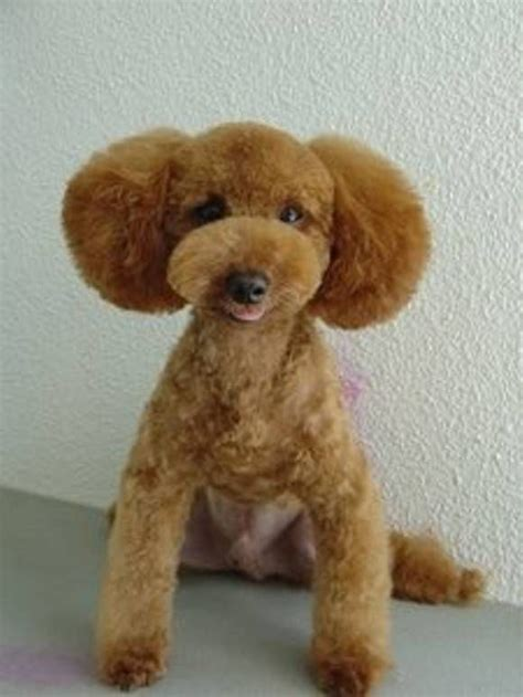 different poodle haircuts 18 best poodle cuts images on pinterest poodle cuts