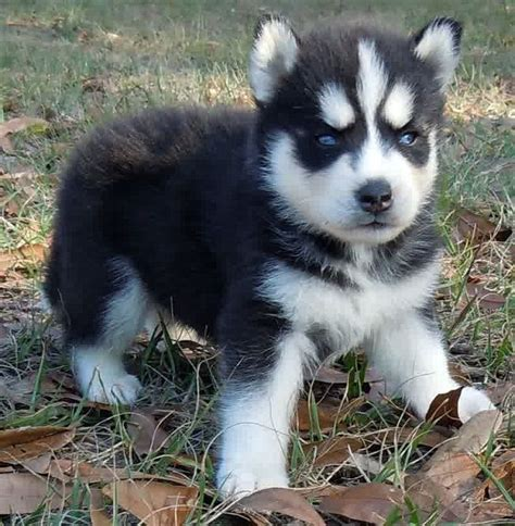 teacup husky puppies for sale 1000 ideas about puppies for sale on baby dogs puppies