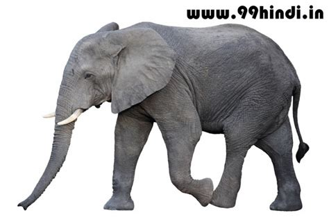 elephant biography in hindi essay on elephant in hindi ह थ पर न बन ध ह न द अग र ज म