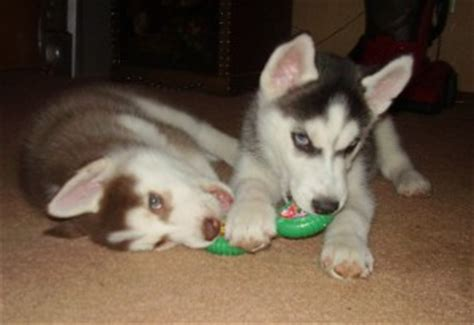 free puppies boise pets boise id free classified ads
