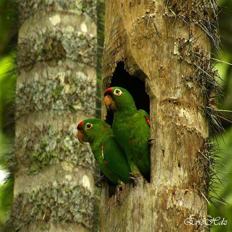 imagenes de pericos verdes mundo animal 191 hablan realmente los loros