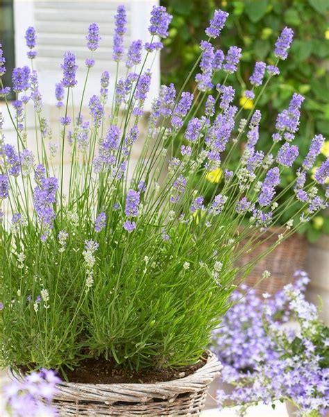 Indoor Courtyard by Lavandula Angustifolia English Lavender Pack Of 10 Plants