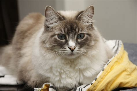 Removing Mats From Cats by How To Detangle Your Cat S Coat