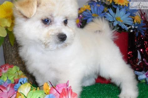 teacup pomeranian puppies for sale in illinois pomeranian puppy for sale near chicago illinois 4f69dc94 72e1