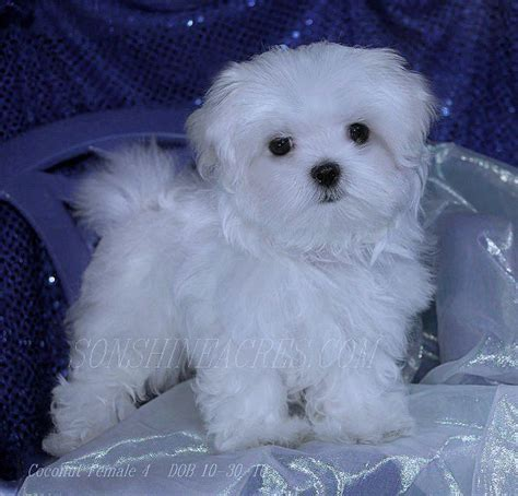 maltipoo puppies for sale in nj best 25 maltese puppies ideas on maltese
