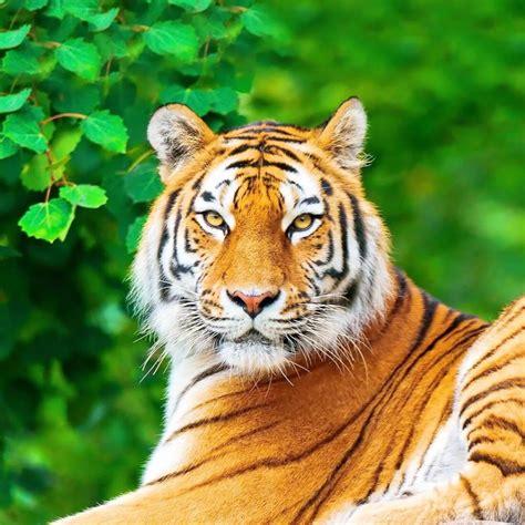 imagenes google tigres tigre papel de parede animado apps para android no