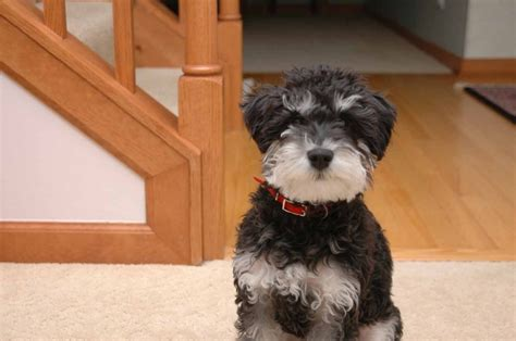 schnoodle puppies rescue newhairstylesformen2014 com schnoodle dogs for adoption hairstylegalleries com