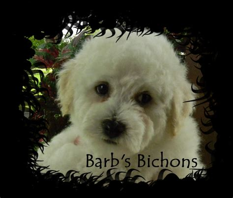breeders in illinois bichon frise for sale