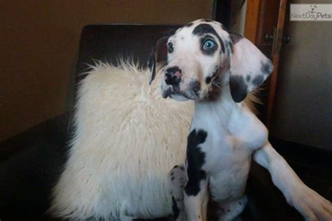 great dane puppies for sale in iowa great dane puppy for sale near cities iowa 3e03d02a a6a1