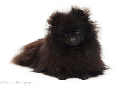 small black pomeranian black pomeranian photo wp11405