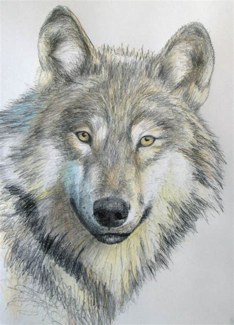 Drawing Wolf by How To Draw A Wolf In Pencil Lessons