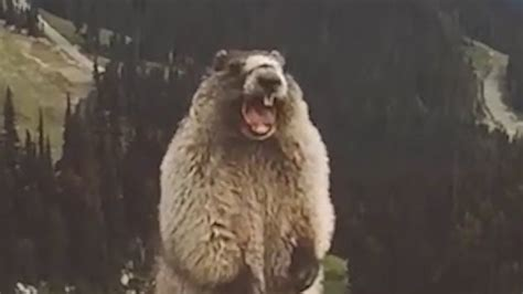 The Screaming the screaming marmot we all days like this lol