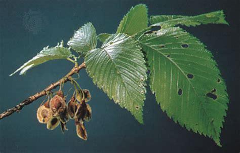 elm tree fruit elm leaves and fruit of an american elm
