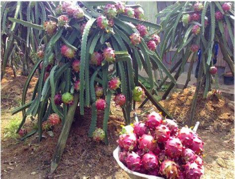 jual bibit buah naga banyuwangi murah 087784795307