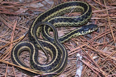 Garter Snake Live Eastern Garter Snake