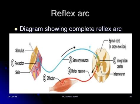 diagram of the reflex arc reflexes clasifications and functions