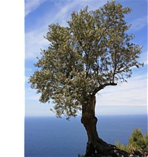 bis wann wã chst der olivenbaum gedeiht und w 195 chst langsam die