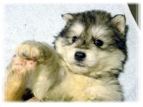 wolf puppies for sale in california wolf husky pups in california san bernadino wolf malamute pups wolamute puppies