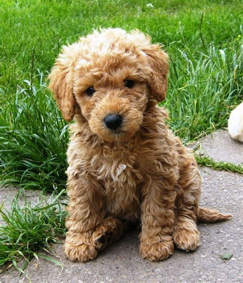 mini labradoodle puppies mini and large australian labradoodle puppies available breeds picture