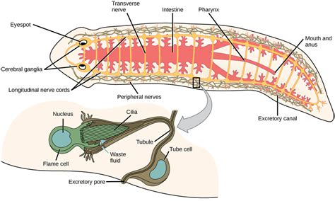 flatworm diagram the excretory system platyhelminthes