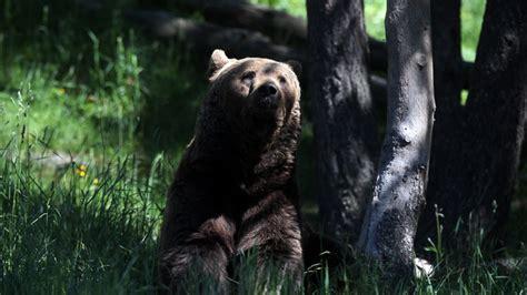 Rainforest Shoo gives birth in siberian forest as shoo away bears rt news