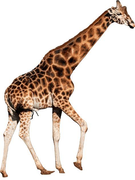 imagenes reales de jirafas jirafa albergues en cantabria albergue paradiso en