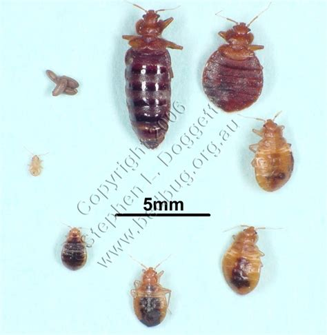 Bed Bug Facts by They Re Back Chatham County Health Department