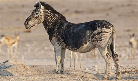 black zebra pictures rare black zebra with no stripes caught on