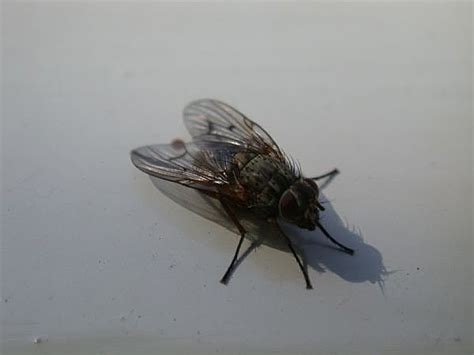 kill house flies how to kill flies in your home
