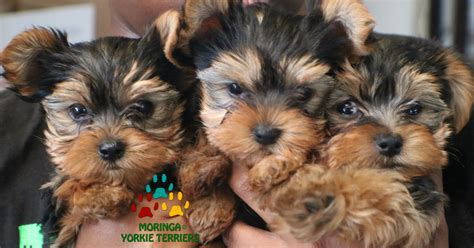 yorkie grooming products yorkie terrier puppies yorkie puppies for sale teacup dogs moringa for dogs