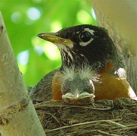 birdnote q a fledging when young birds leave the nest