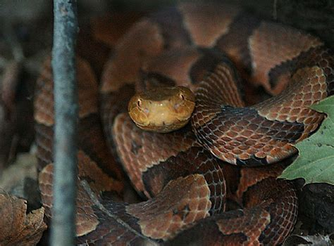 Garden Snake Ny Copperhead Snake High Tor Mtn New York State Hi Tor